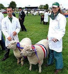 award-winning lambs