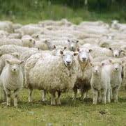 sheep on camera!