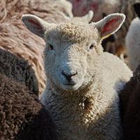 lavinton lamb